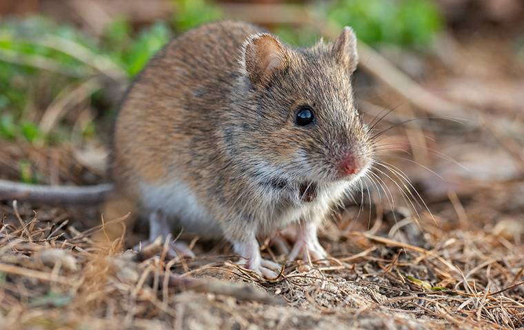 a house mouse outside a home