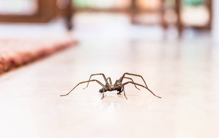 a spider crawling on a dining room floor