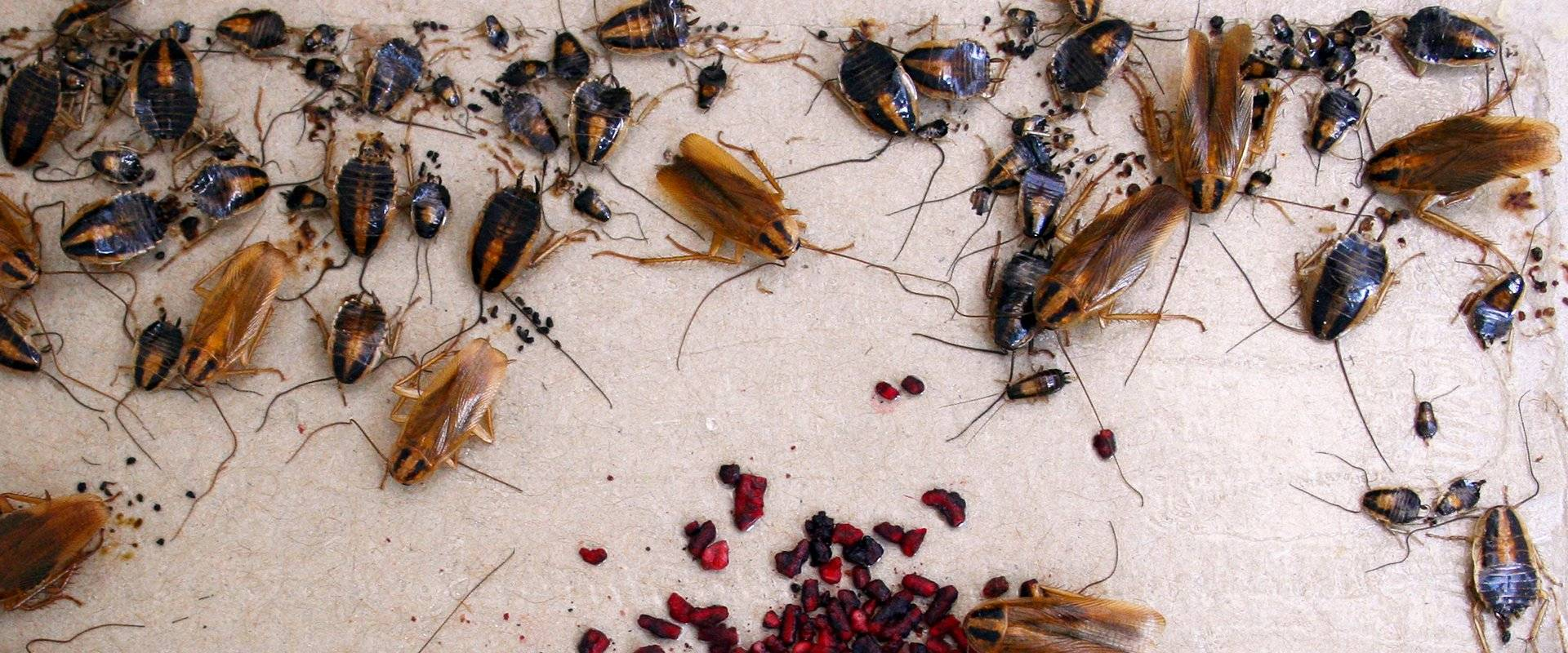 cockroaches in home