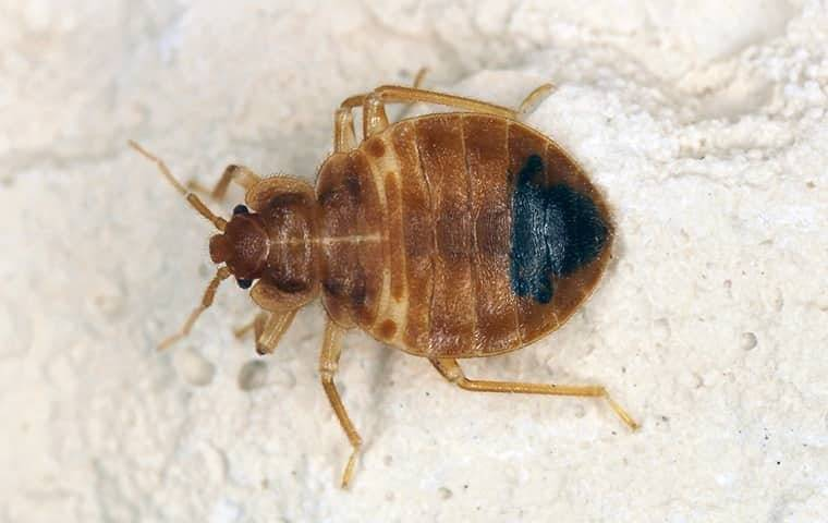 a bed bug infesttaion on a kings mountian bed of linens