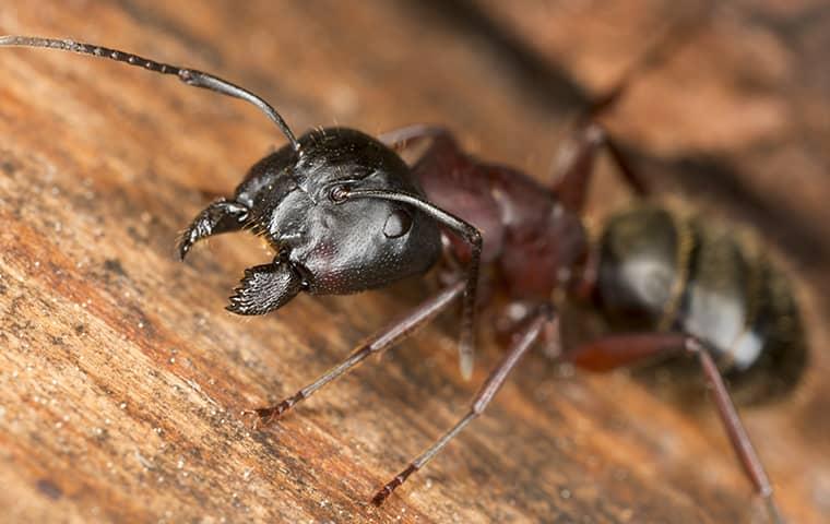black ant on wood