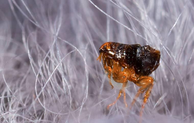 flea in pet hair