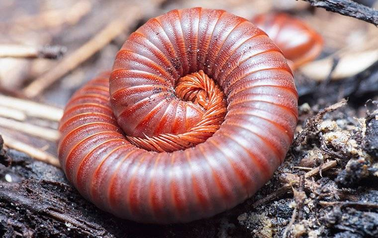 a millipede curled up in a yard