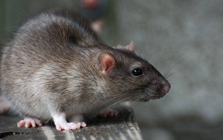 close up of a rat in a garage