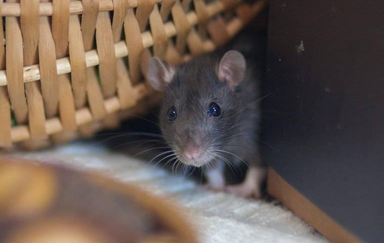 a rat crawling on laundry