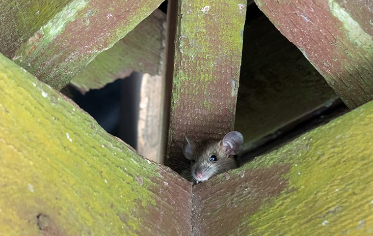 a roof rat in the rafters of an attic