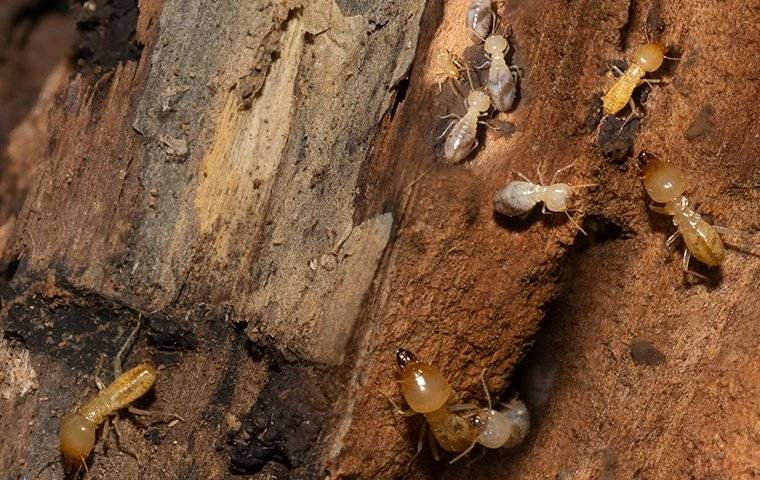 termites tunneling through wood