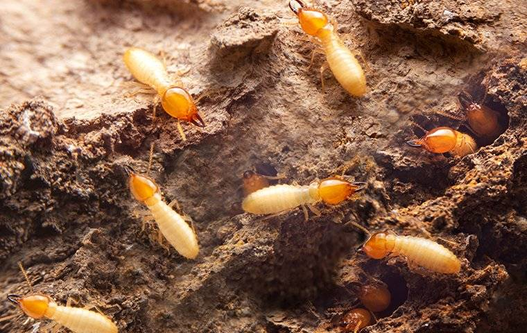 termites crawling in a wooden wall