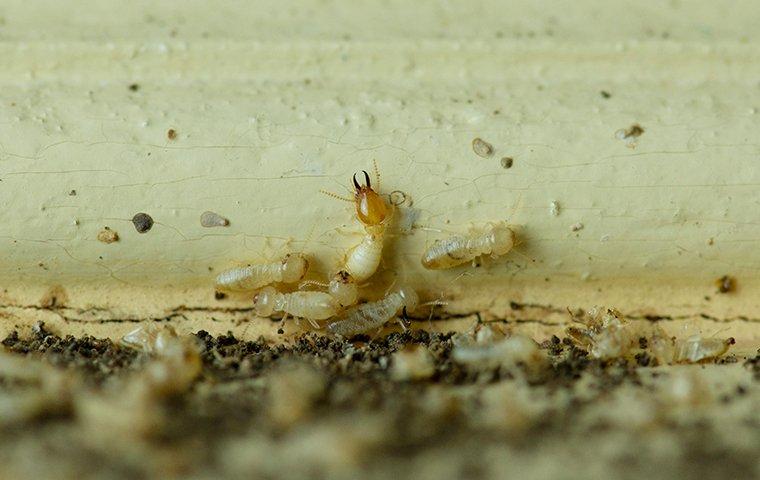 termites on damaged wooden trim