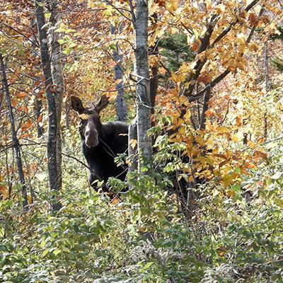 I see a Moose