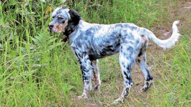 Birch the HUnting Dog
