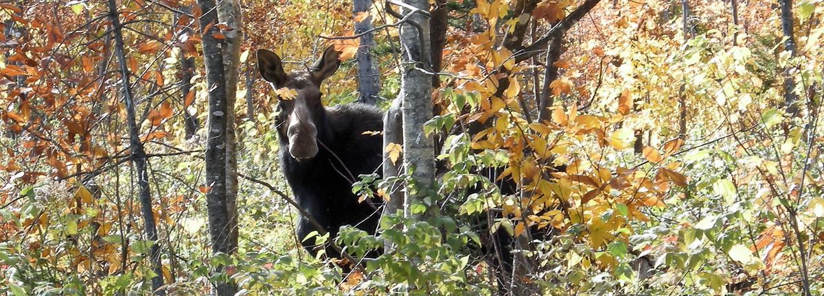 Moose Watching