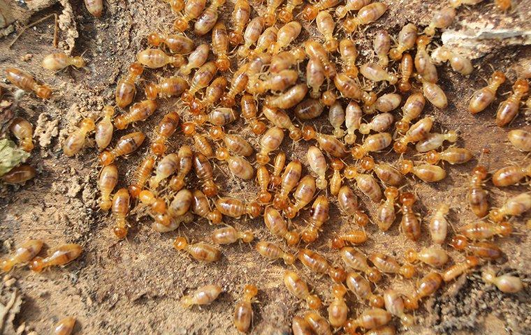 a swarm of termites on the ground