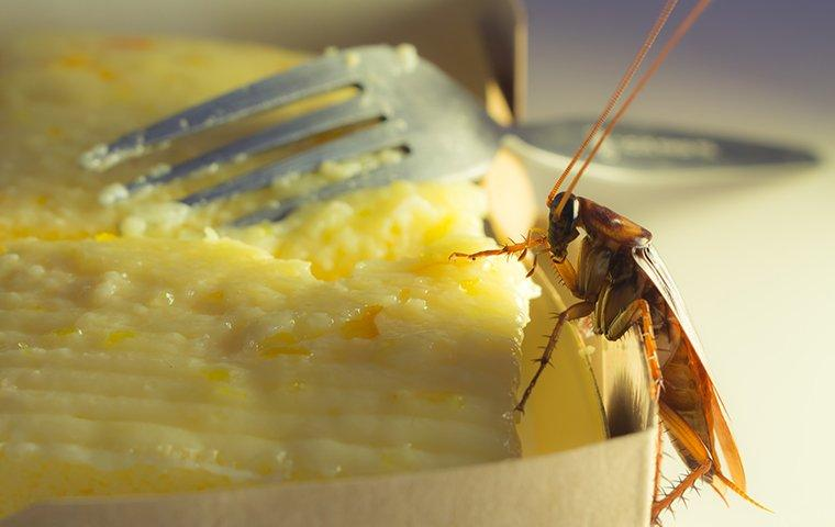 an american cockroach crawling on food
