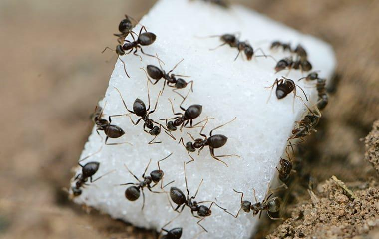 ants crawling on sugar cube