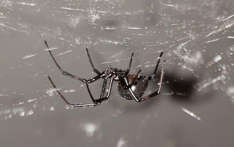 black widow spider climbing in its web