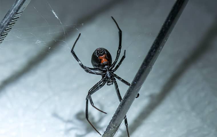 a black widow spider in a home