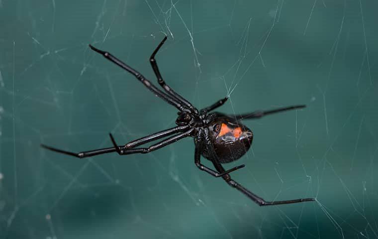 black widow spider hanging on web