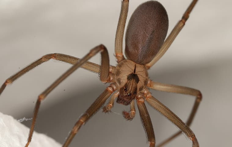 a brown recluse spider in a web