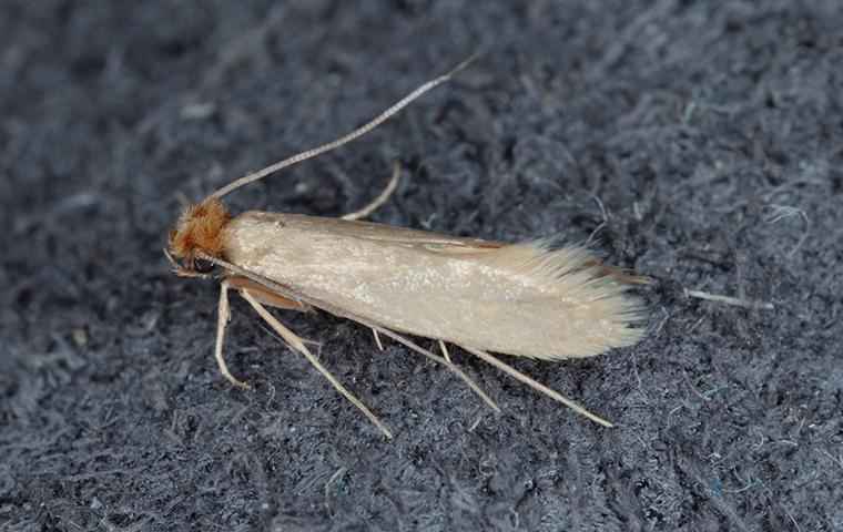an up close image of a cloth moth on wool