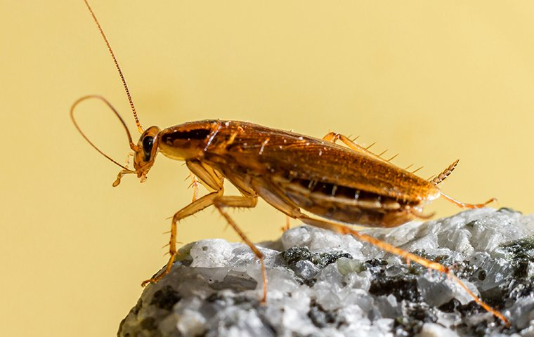 a german cockroach perched on a rock