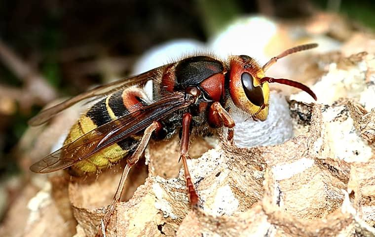 close up of a hornet