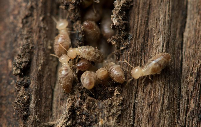 termites in wood outside a home