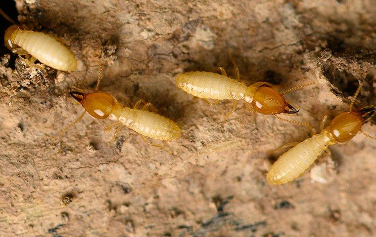 an up close image of termites infesting a home