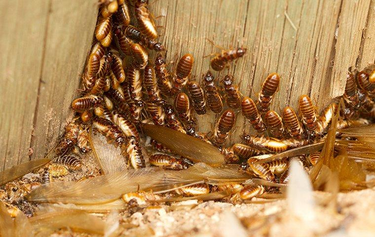 termites and alates swarmers crawling in wood wall
