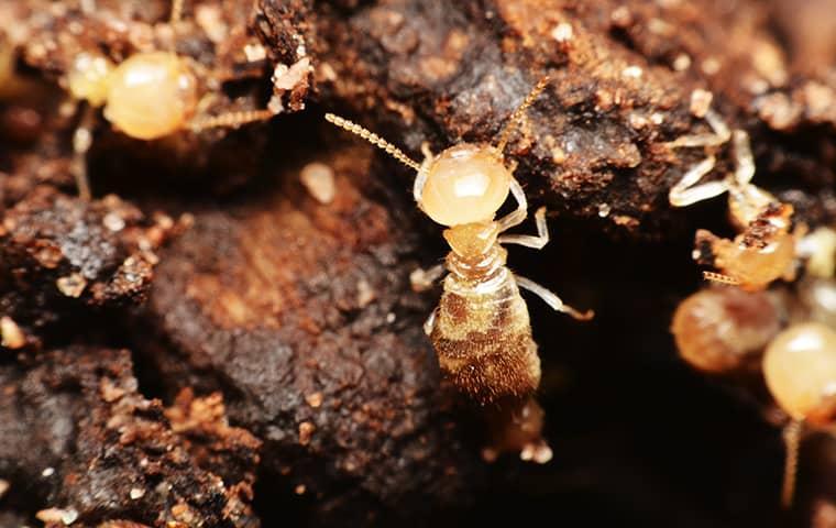 a termite crawling