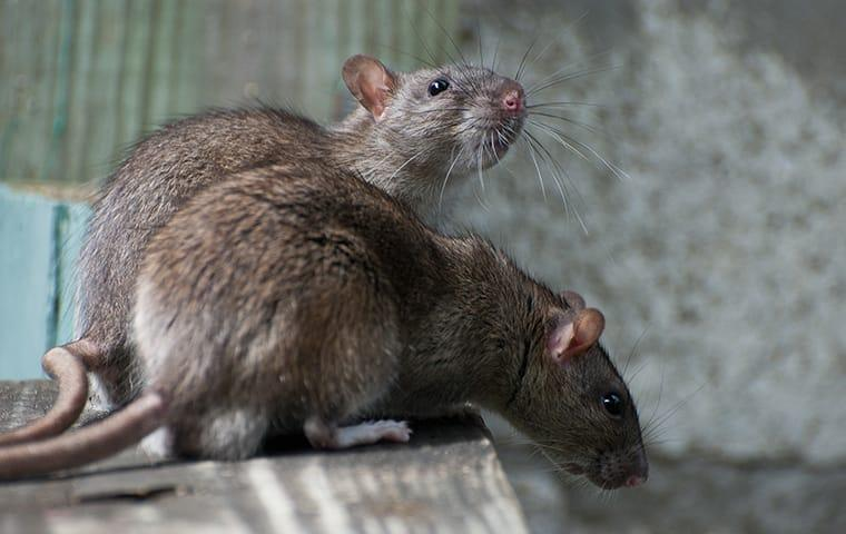 rats on basement stairs