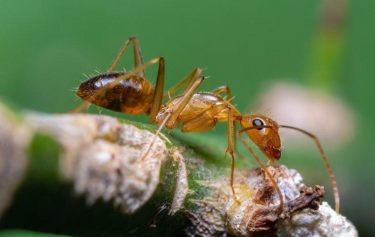 crazy ant on leaf stem