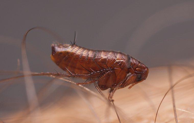 flea on arm