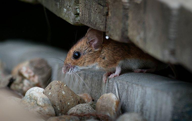 mice under shed
