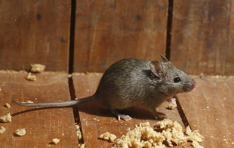 a mouse eating bread crumbs in a home