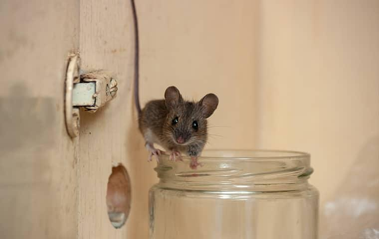 a house mouse perched on a jar in a cupboard in valley alabama