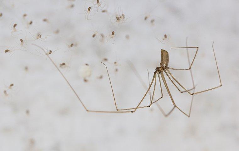 big spider with babies