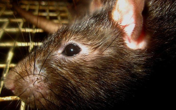 rat in oven