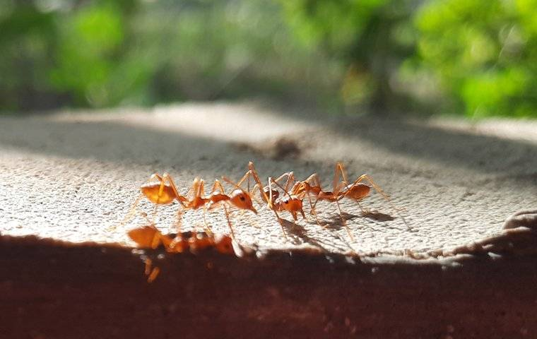 fire ants on rock landscaping