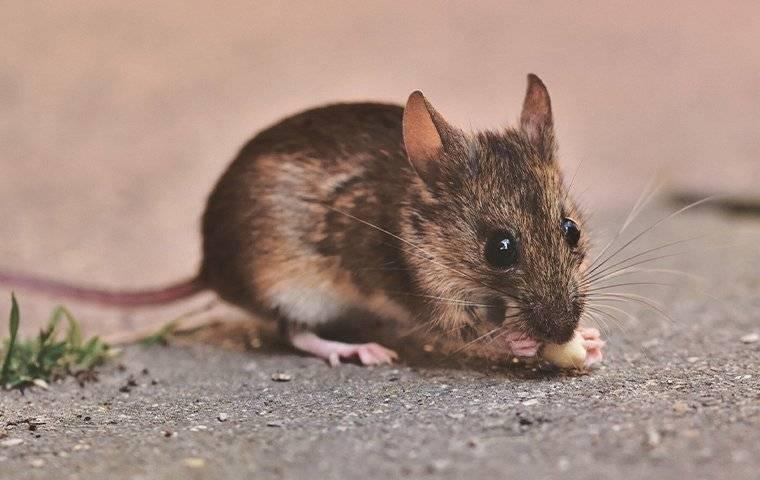 a mouse outside