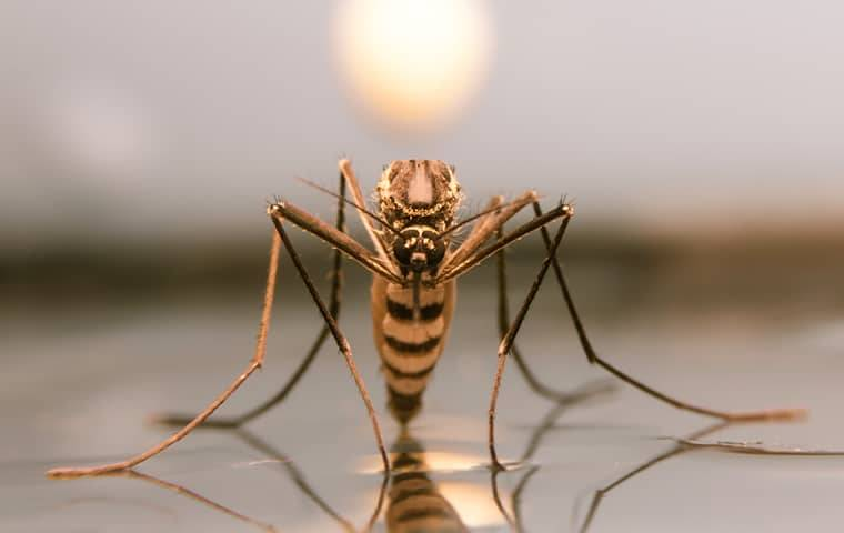 an up close image of a mosquito that landed on a puddle