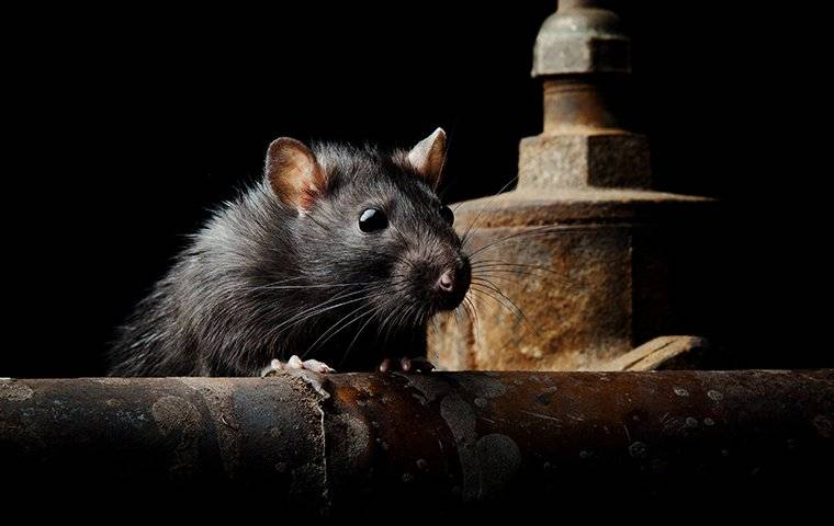 a rodent in home basement