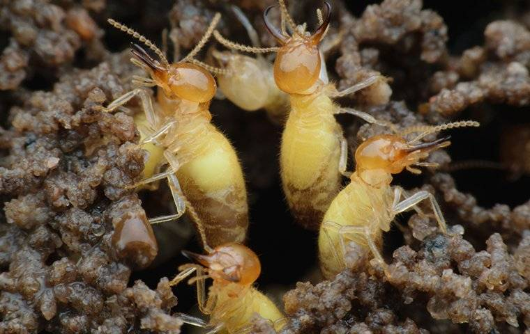 formosean termites