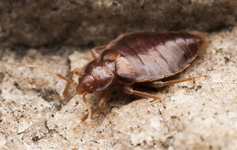 a bed bug crawling on bedding in a home in dallas texas
