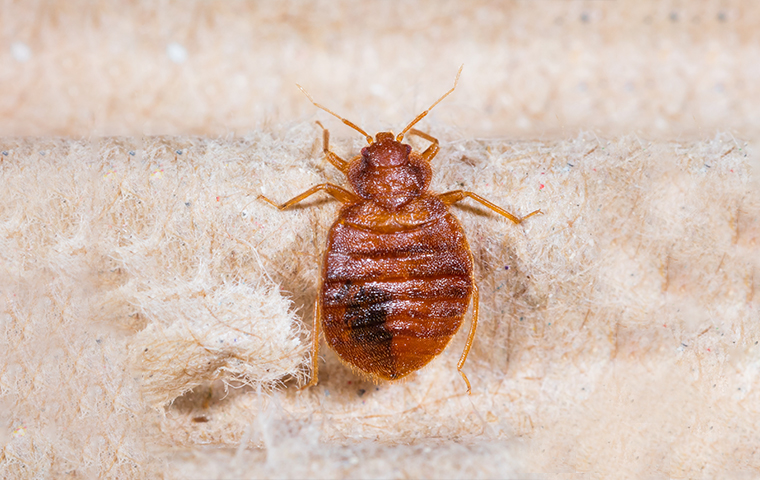 a bed bug on bedding in a home in dallas texas