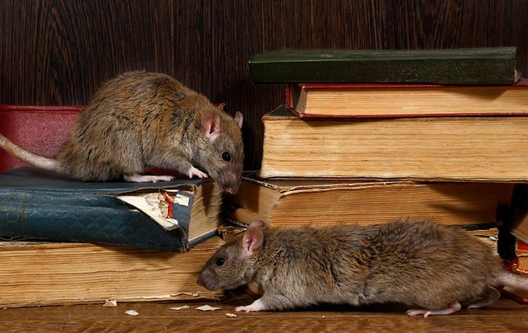 a couple of rats out on an open bookshelf damaging property inside of a dallas texas home