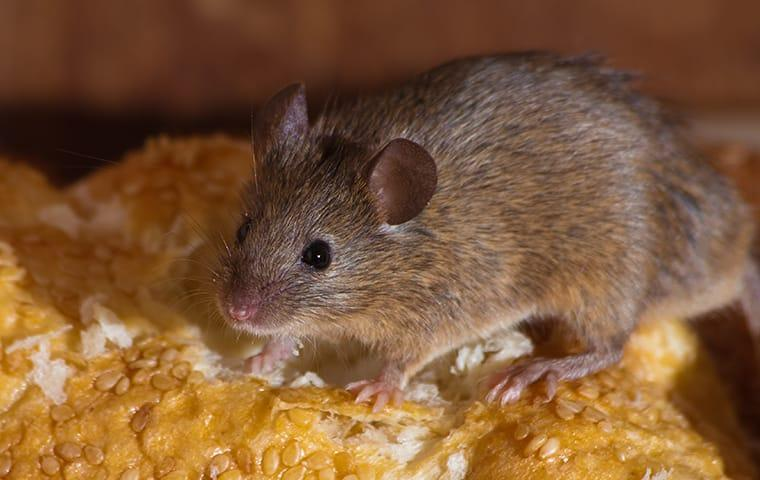 a small rodent hiding in a houston texas kitchen cupboard while feasting on breads and stored snacks