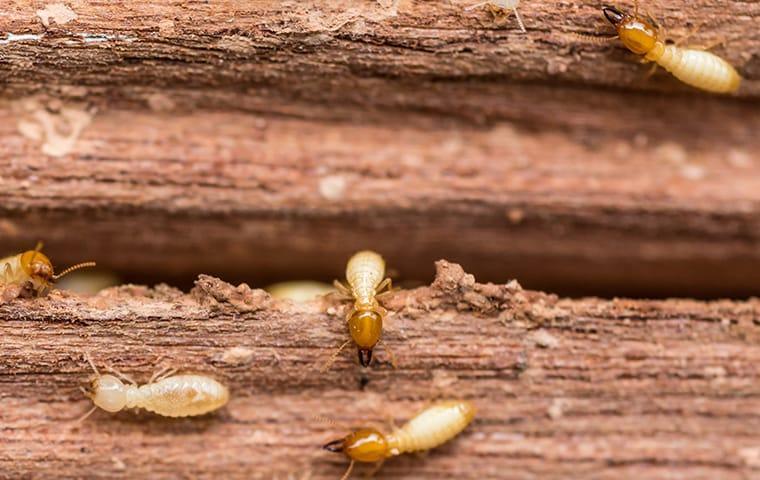 a colony of termites swarming through a san antonio texas wooden structre