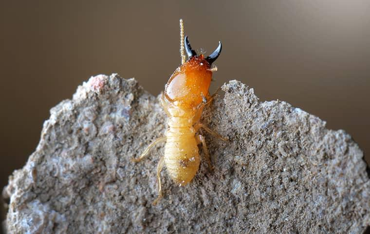 termite in houston foraging near home