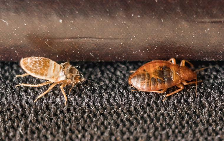 bed bugs on a rug in texas